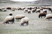 Schafe — Stockfoto