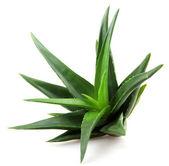 Aloe vera roślin na białym tle — Zdjęcie stockowe