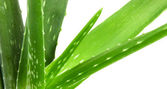 Aloe vera plant isolated on white — Foto Stock