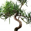 Bonsai — Stock Photo #24342743
