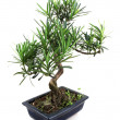 Bonsai — Stock Photo #24344385