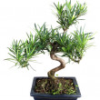 Bonsai — Stock Photo #24344817