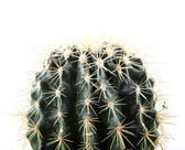 Cactus isolated on white background — Stock Photo