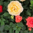 Roses - Color Image — Stock Photo