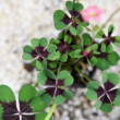 Stock Photo: Picture of green clover