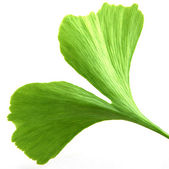 Ginkgo biloba on white background — Stock Photo