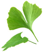 Green ginkgo biloba leaves isolated on white background — Stock Photo