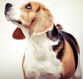 Na białym tle pies beagle — Zdjęcie stockowe