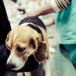 Dog at vet in surgery preparation room. — Stock Photo #35061493