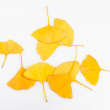 Ginkgo Biloba Leaves — Stock Photo #35843583