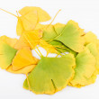 Ginkgo Biloba Leaves — Stock Photo #35844055