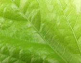 Yaprak yeşil arka plan — Stok fotoğraf