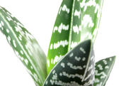 Aloe isolated on white backbround — Stock Photo