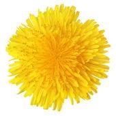 Yellow dandelion flower — Stock Photo