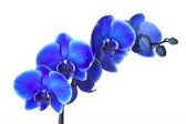 Orchidee — Stock Photo