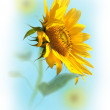 Sunflower — Stockfoto #12638078