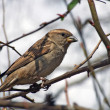 Stock Photo: Sparrow on tree