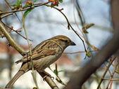 Sparrow on tree — Stock Photo