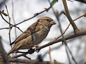 Sparrow on tree — Stock Photo
