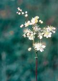 Filipendula vulgaris — Stock Photo