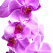 Purple orchid flowers close up on white — Stock Photo
