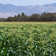 Plantation of Corn in Israel. — Stock Photo