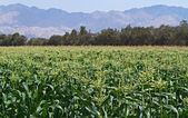 Plantation of Corn in Israel. — Stock Photo