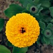 Stockfoto: Yellow marigold flower