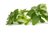 Basil. — Stock Photo
