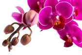 Orchid. — Photo