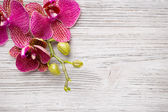 Orchid. — Stock Photo