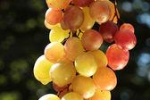 Kleurrijke wijn druif — Stockfoto
