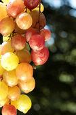 Colorful wine grape — Stock Photo