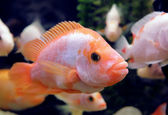 Aquarium Oscar fish — Stock Photo