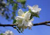 Apple flowers in spring — Stock Photo