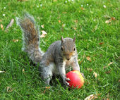 Squirrel eating red apple — Stock Photo