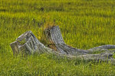 Marsh tree stump — Stock Photo