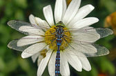 Dragonfly on daisie — Stock Photo