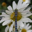 Dragonfly on daisie 86 — Stock Photo