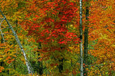 Colorfull fall trees 48 — Stock Photo