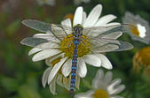 Dragonfly on daisie 92 — Stock Photo