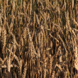 Stock Photo: Wheat field 76