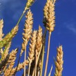 Stock Photo: Blue Sky Wheat 67