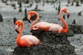Flamingo (Phoenicopterus ruber) at nest. — Stock Photo