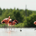 Caribean Flamingo bathing — Stock Photo #13801105