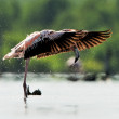 Caribean Flamingo bathing - Foto de Stock  