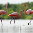 Pink Caribbeflamingo goes on water. — Stock Photo #13801124