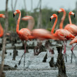 Flamingo (Phoenicopterus ruber) colony. — Stock Photo #13801126