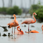 Caribean Flamingo bathing Caribean Flamingo bathing — Stock Photo