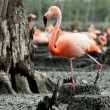 Flamingo (Phoenicopterus ruber) at nest. — Stock Photo #13801279